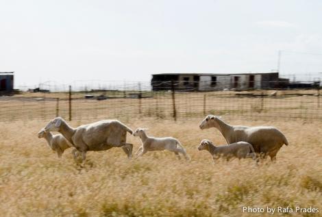 La oveja merina del Casar de Cáceres