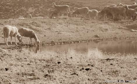 Ovejas pastando en tierras del Casar de Cáceres